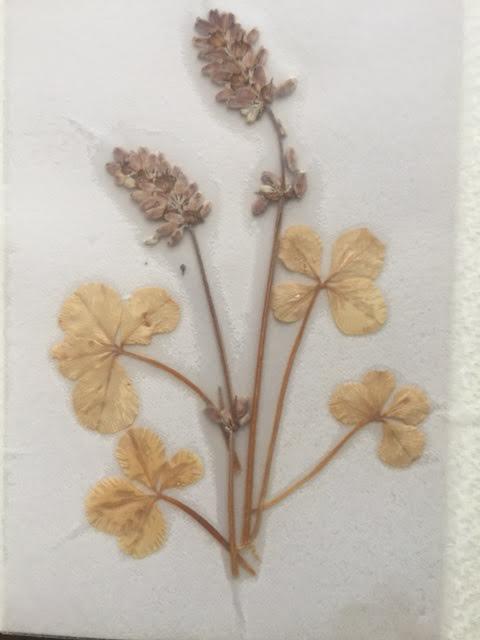 四つ葉のクローバー(富良野、2000年)