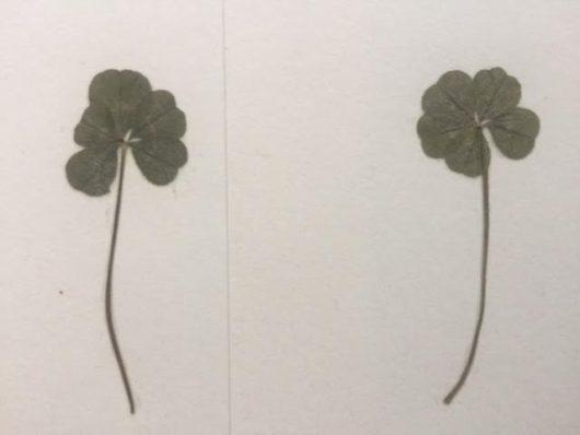 5つ葉のクローバー(北海道トマム、十勝千年の森)