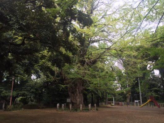 氷川神社ご神木